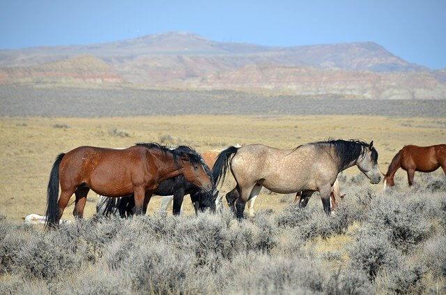 horses-steppe