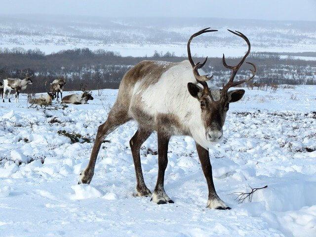 reindeer-dw